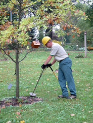 PA Certified Giroud Tree Service Applicator injects deep root fertilizer in young tree