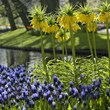 The lucky winner of Longfield Gardens' Garden Giveaway contest will enjoy high quality bulbs, like these Fritillaria Lutea Maxima and muscari.