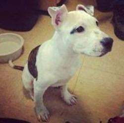 Puppy Doe Dog Abuse Picture - Kiya the Pitbull