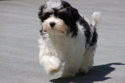 Royal Flush Havanese Black and White Havanese Puppy