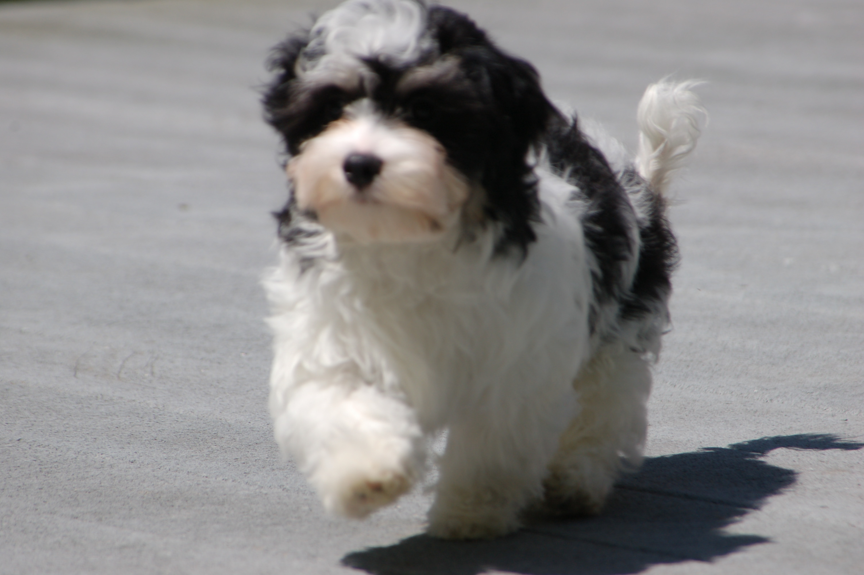 Happy May! Royal Flush Havanese Celebrates the Dog ...