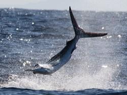 Striped marlin Cabo San Lucas