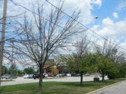 Denver Tree Service - Canopy Dieback from Emerald Ash Borer in Colorado - Swingle