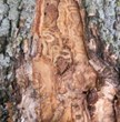 Denver Tree Service - Bark Splitting from Emerald Ash Borer in Colorado - Swingle