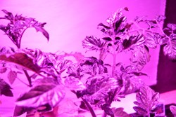 Young plants under LED