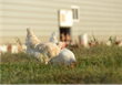 Egg Innovations hens enjoy access to pasture, sunshine, and fresh air