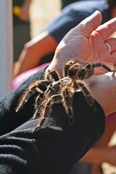 A brave person holds a tarantula at the annual Coarsegold Tarantula Festival