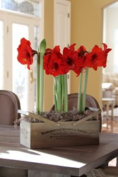 Amaryllis Bulbs are Easy to Grow Indoors and Make Great Gifts