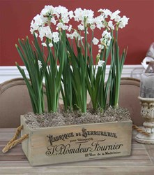 Paperwhites are easy to grow indoors with Longfield Gardens