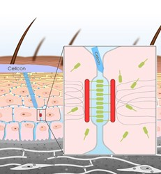 Cellcon mechanism of action illustration