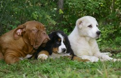 Three different breeds of dogs lie in the grass.