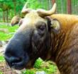 Takin Goat-Antelope - Discerning Journeys in Bhutan, www.discerningjourneys.com