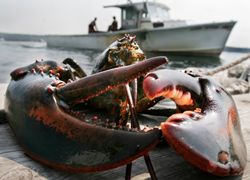 Maine lobster delivery on special at GetMaineLobster.com