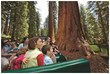 Wonder at the giants of Mariposa Grove on the Big Trees Tram Tour