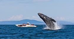 Humpback Whale breaching with Eagle Wing Tours whale watching boat in Victoria British Columbia
