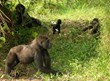 A group of gorillas reintroduced into the wild by The Aspinall Foundation © The Aspinall Foundation
