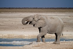 Elephant at waterhole in Etosha National Park, Namibia