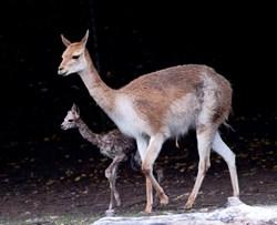 Vicugna Blackpool Zoo