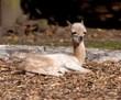 Blackpool Zoo Vicugna