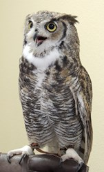 Great horned Owl from Tucson Wildlife Center