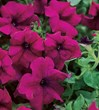 Surfinia Trailing Magenta Petunia is perfect for hanging baskets or containers