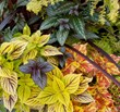 Photo Courtesy of Fine Foliage: Festival Burgundy cordyline cuts across 'Gay's Delight' and 'Freckles' coleus, Persian shield and golden Hinoki cypress.