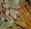 Courtesy of Fine Foliage: Velvety Rhododendron pachysanthum contrasts beautifully with glossy orange hair sedge.