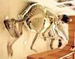 Brachylophosaurus fossil in Montana's Missouri River Country