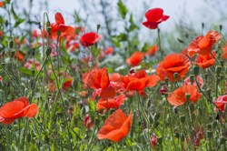 memorial poppy seeds