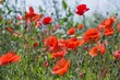 Phoenix Amenity Supplies Commemorates World War 1 Centenary With Sale of Memorial Poppy Seeds