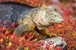 Spot vibrant land iguanas on an IE Galapagos cruise
