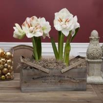 amaryllis, longfield gardens, indoor gardening