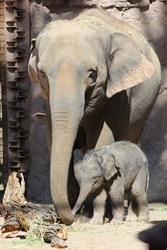 Jazmine, the Asian elephant calf with mother Rozie. Photo by ABQ BioPark.