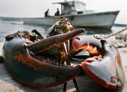 Maine lobster industry - lobster harvesting