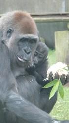 Western Lowland Gorilla Blackpool Zoo