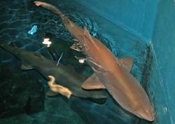 sand tiger shark in Maritime Aquarium