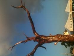 Ed Toups donates oak to Marlin Miller Bayou St. John Tree