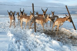 Pronghorn negotiate a barbed wire fence. Joe Riis photo.