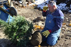 Mike McGroarty prepares to plant a live Christmas tree.