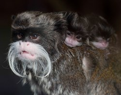 Emperor Tamarin, Moustaches, Movember, Blackpool Zoo