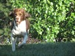 West Coast Bird Dog Champion Returns to Competition Thanks to Stem...