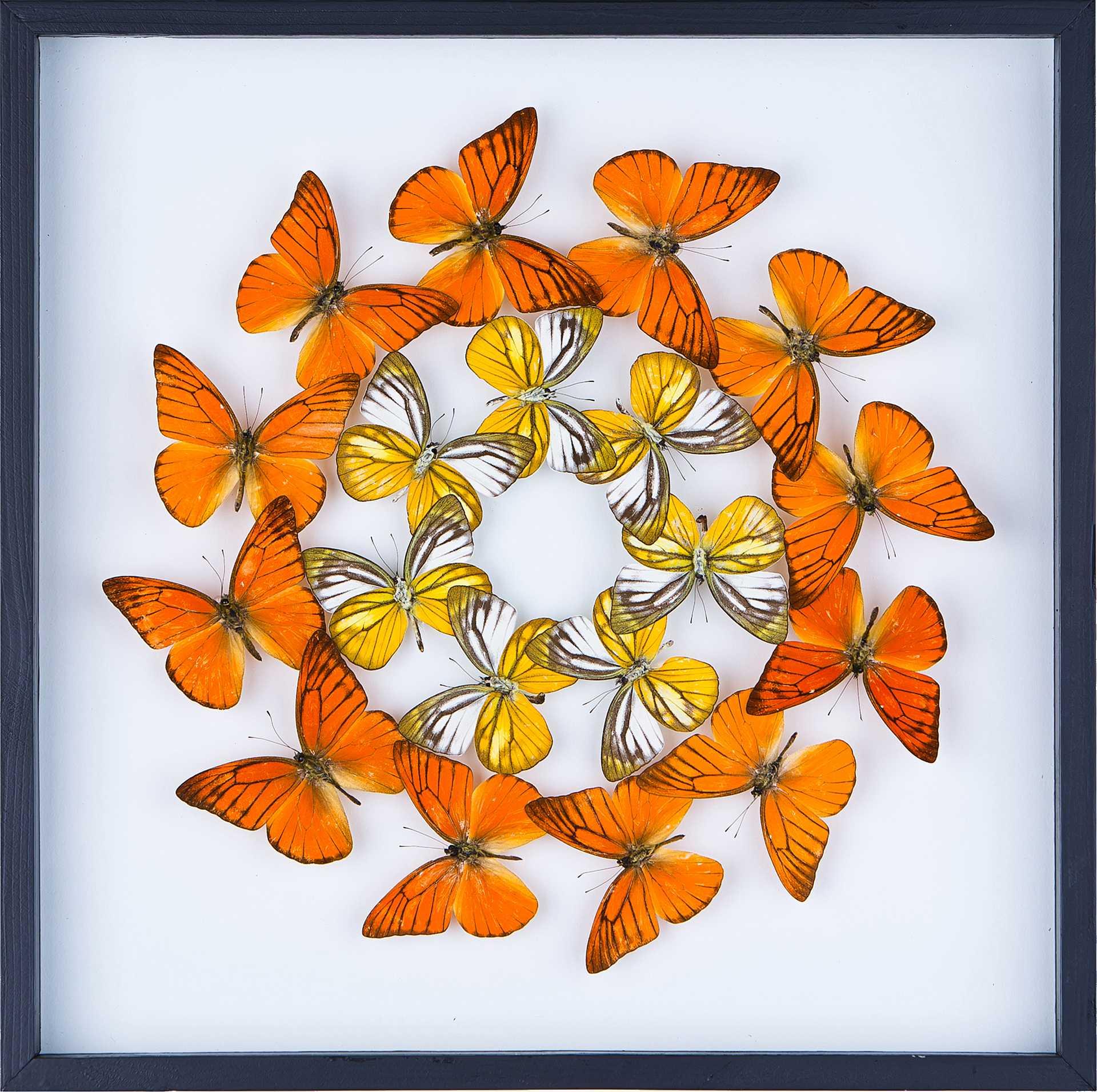 butterfly taxidermy art
