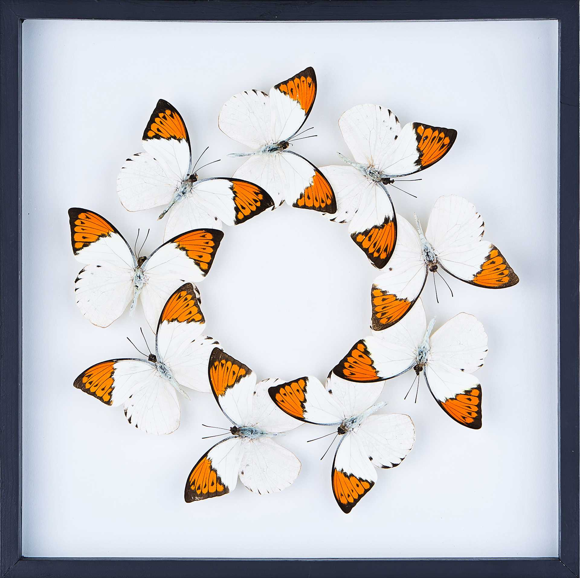 media butterfly taxidermy art