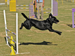 San Diego Canine Overcomes Pain to Achieve Championship with the Help of Paradise Veterinary Hospital and Vet-Stem, Inc.