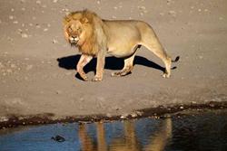 Etosha lion Namibia