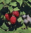 Raspberry Shortcake produces full-size, nutritious and super sweet raspberries mid-summer.