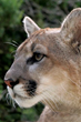 """Oakland Zoo's Conservation Speaker Series Presents """"Saving the Puma"""""""