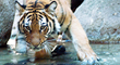 The Endangered Malayan Tiger: photo by Endangered Species Journalist Craig Kasnoff