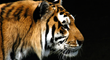 Endangered Siberian Tiger - photo by Endangered Species Journalist Craig Kasnoff
