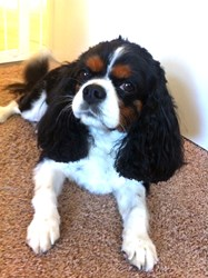 Bella, a Cavalier King Charles Spaniel, has been protected by Pets Best since 2008.